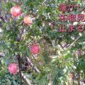柘榴(ざくろ)